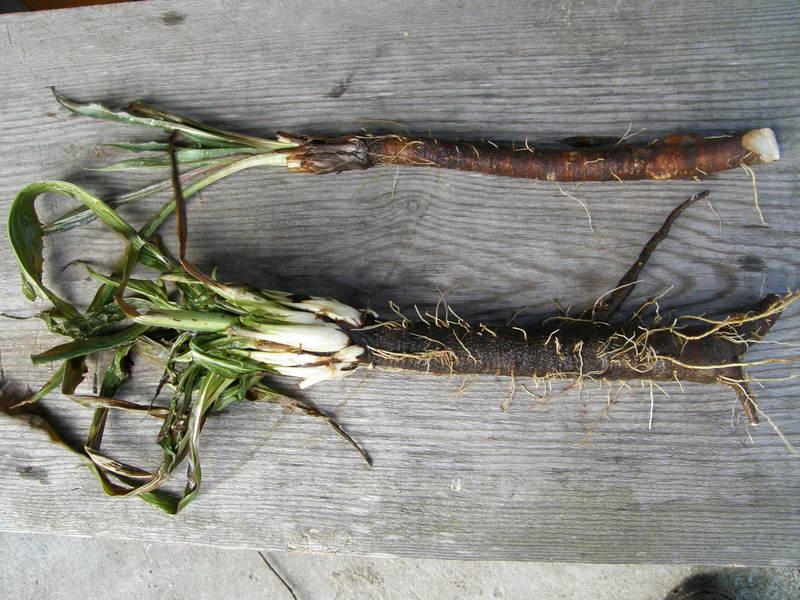 Žemiau gelteklės šaknis augusi giliai įdirbtoje dirvoje